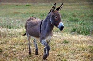 burro-5