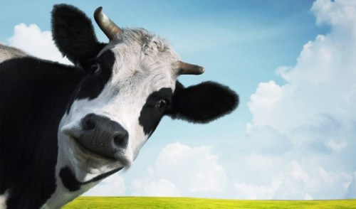 Funny cow on a green summer meadow; Shutterstock ID 130949000; PO: aol; Job: production; Client: drone
